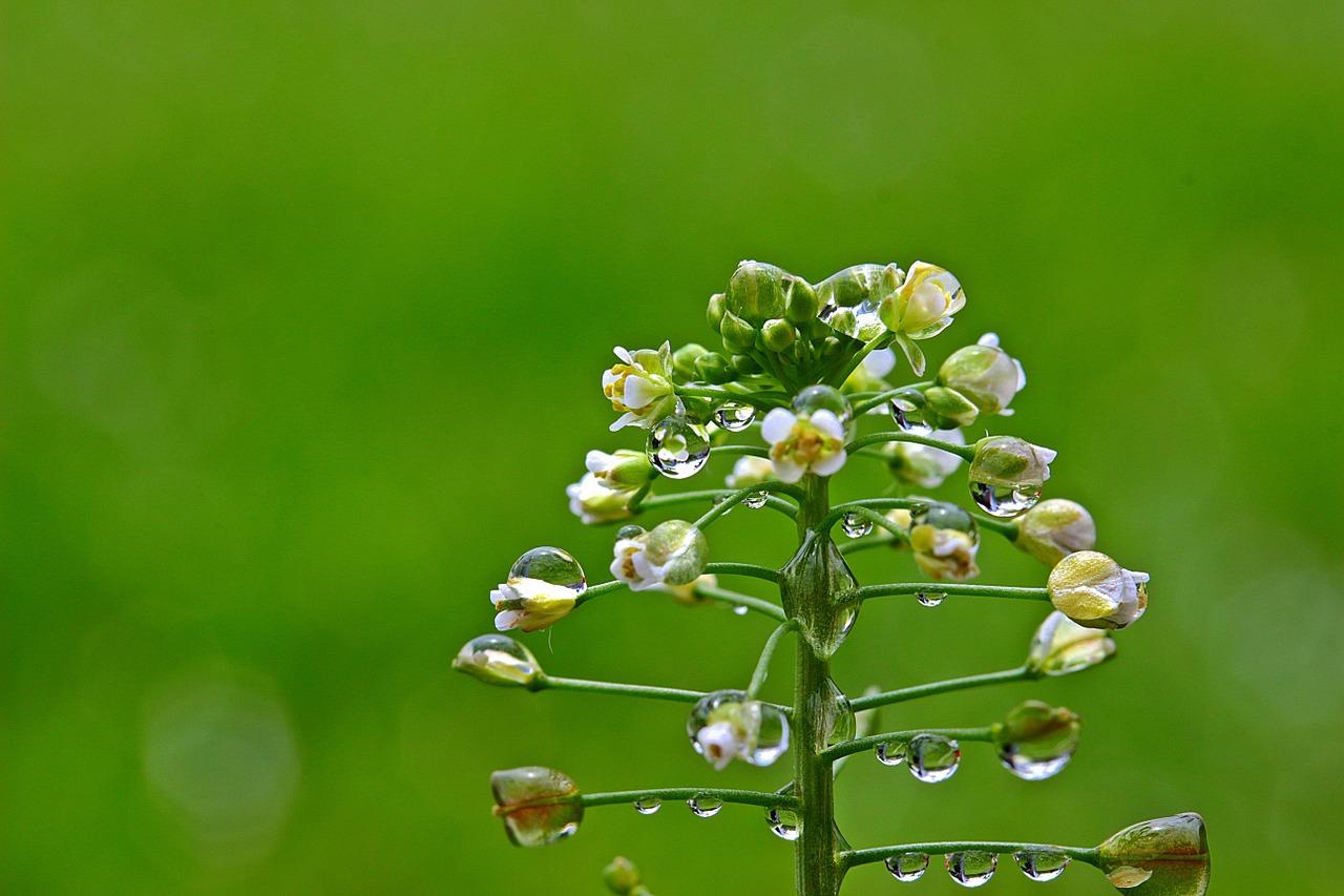 まし 咲き の たよ が 花 ぺんぺん草