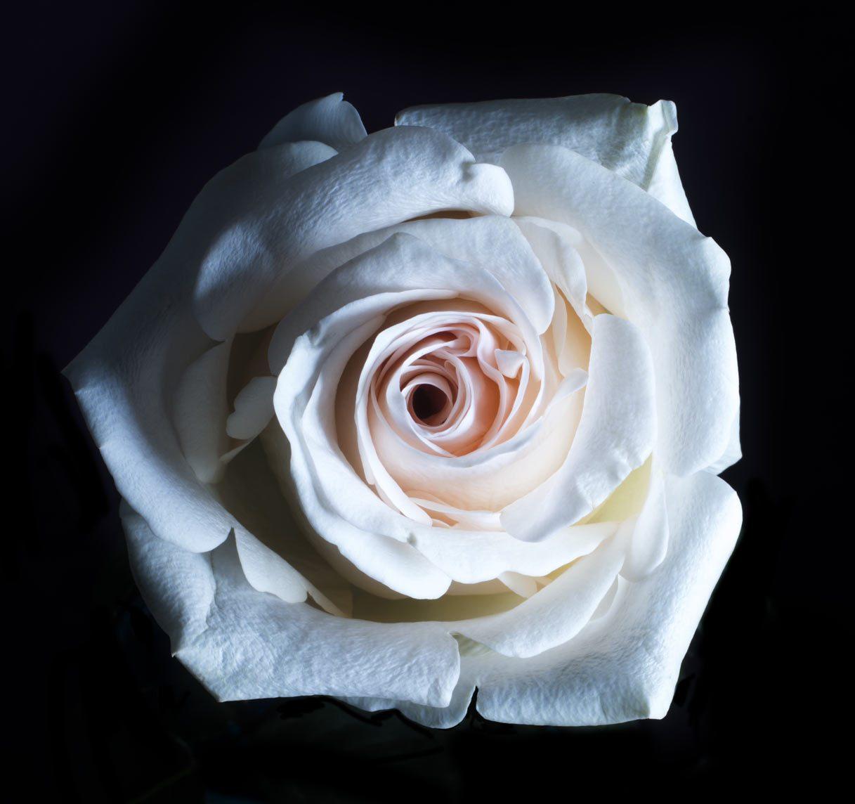 バラ の 花 た 白い 言葉 枯れ